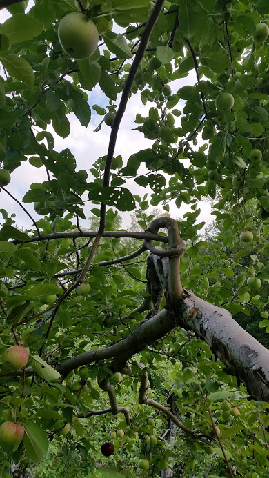 New Salem Orchards is known for permanent pretzel training as a means of height limiting standard sized apple trees. This very seldom seen practice is functional and beautiful when the tree acclimates.