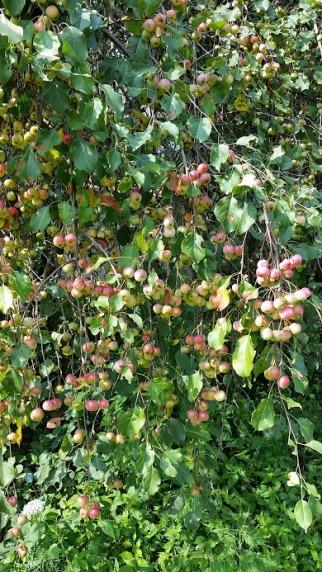 Tanenbaum apple 2